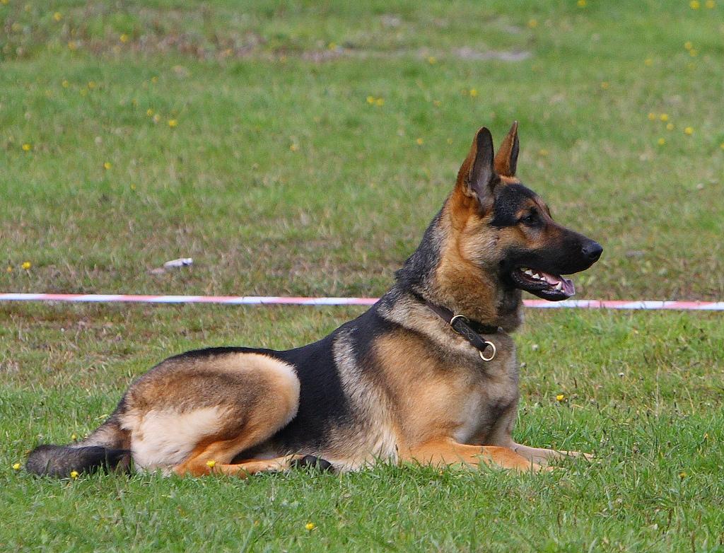 hund i fokus